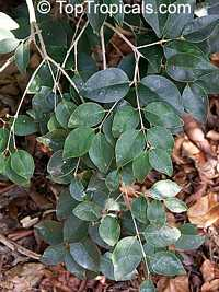 Myrciaria floribunda, Eugenia floribunda, Guavaberry, Rumberry  Click to see full-size image