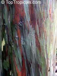 Eucalyptus deglupta - Rainbow EucalyptusClick to see full-size image