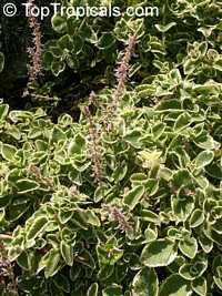 Solenostemon amboinicus, Coleus amboinicus, Plectranthus amboinicus, Allspise, Three-in-one spise, Cuban Oregano  Click to see full-size image