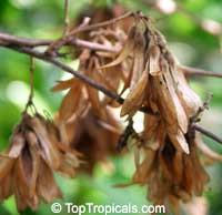 Ruprechtia coriacea, RuprechtiaClick to see full-size image