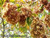 Anogeissus latifolia, Ghatti, Indian Gum Tree, Dhawa, Indian sumac