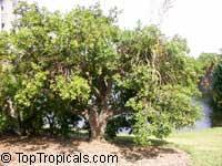 Jacquinia macrocarpa, Jacquinia aurantiaca, Barbasco  Click to see full-size image