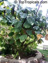 Macaranga grandifolia, Macaranga longifolia, Macaranga mappa, Macaranga, Nasturtium Tree, Parasol Leaf Tree, Bingabing, Sun Parasol Shrub, Elephant Ear Tree  Click to see full-size image