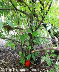 Brownea macrophylla, Panama Flame Tree, Rose of Venezuela   Click to see full-size image