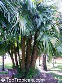 Zombia antillarum, Chamaerops antillarum, Coccothrinax anomala, Zombie Palm, Latanier Zombi  Click to see full-size image