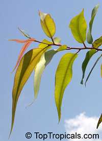 Eucalyptus citriodora - Lemon Eucalypt  Click to see full-size image