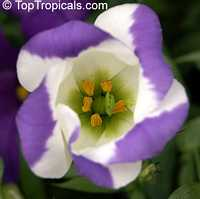 Eustoma grandiflorum, Lisianthus russelianus, Texas Bluebell, Lisianthus, Tulip Gentian  Click to see full-size image