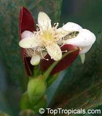 Eugenia braziliensis, Eugenia dombeyi, Grumichama  Click to see full-size image