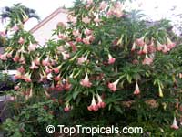 Brugmansia suaveolens, Brugmansia suaveolens hybrids, Datura suaveolens, Angel's trumpet