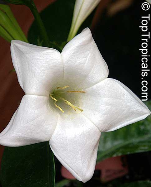 Portlandia latifolia dwarf bell flower white horse flower tree portlandia latifolia dwarf bell flower white horse flower tree lily click to see mightylinksfo