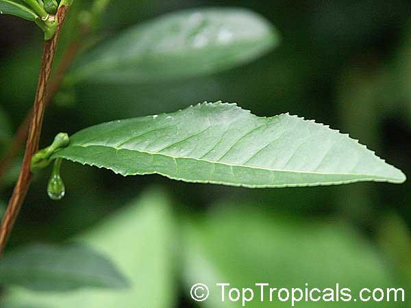 тилайтфул чай для похудения цена отзывы
