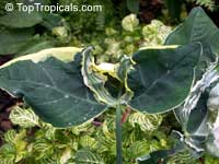Xanthosoma albomarginata, Xanthosoma atrovirens albomarginata, Mickey Mouse Taro, Mouse Cup, Pocket Plant  Click to see full-size image