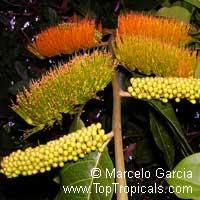 Combretum fruticosum, Orange Flame Vine, Chameleon VineClick to see full-size image