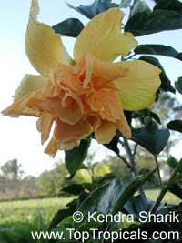 Hibiscus Mrs James Hendry, Hibiscus Mrs James Hendry  Click to see full-size image