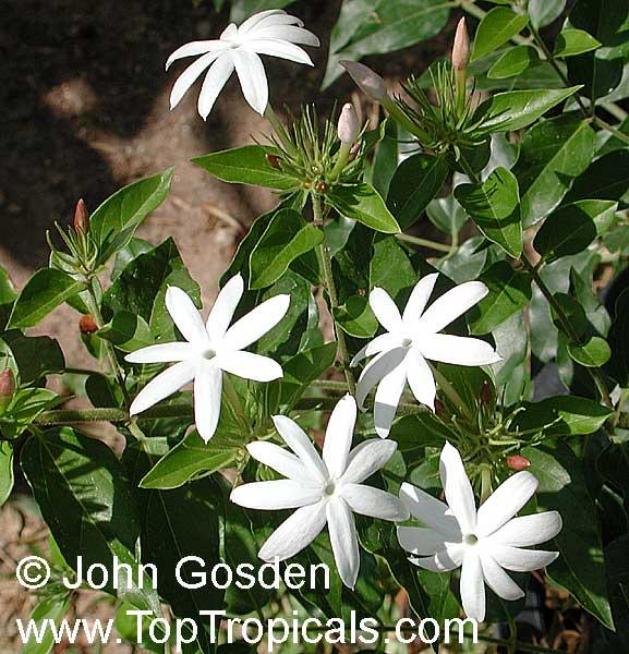 Jasminum Dichotomum Rose Bud Jasmine Everblooming