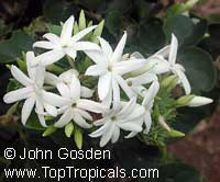 Jasminum aemulum, Palawan Jasmine, Malulee  Click to see full-size image