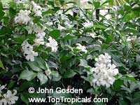 Murraya paniculata, Orange Jasmine, Orange Jessamine, Mock Orange, Lakeview Jasmine, Chinese Cosmetic Boxwood