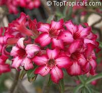 Adenium multiflorum, Desert Rose  Click to see full-size image