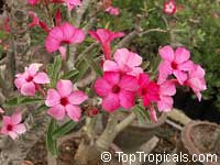 Adenium swazicum, Desert Rose  Click to see full-size image