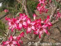 Adenium somalense, Desert Rose  Click to see full-size image