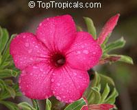 Adenium swazicum, Desert RoseClick to see full-size image