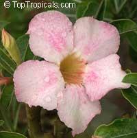 Adenium arabicum, Desert Rose  Click to see full-size image