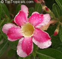 Adenium sp. variegatum, Variegated Desert RoseClick to see full-size image