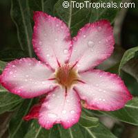 Adenium arabicum, Desert RoseClick to see full-size image