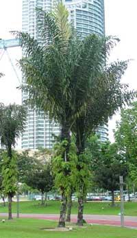 Arenga pinnata, Arenga saccharifera, Sugar Palm, Black Sugar Palm, Gomuti Palm  Click to see full-size image