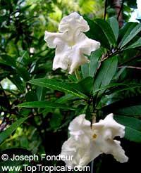 Brunfelsia manaca, Brunfelsia currugata, Manaca  Click to see full-size image
