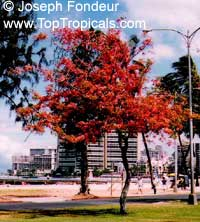 Cassia marginata, Red Shower Tree, Red or Rose Cassia, Rainbow Tree