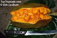 Artocarpus heterophyllus - Jackfruit Black Gold, grafted  Click to see full-size image