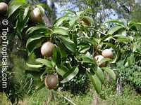 Manilkara zapota, Manilkara achras, Achras sapota, Sapodilla, Ciku, Naseberry, Nispero, Sapote, Brown Sugar FruitClick to see full-size image