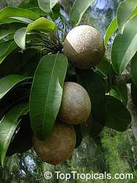 Achras (manilkara) zapota - Sapodilla Molix, Air-layered Click to see full-size image