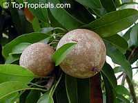 Achras (manilkara) zapota - Sapodilla Morena, Air-layered   Click to see full-size image