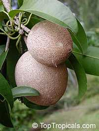 Achras (manilkara) zapota - Sapodilla Prolific, Air-layered   Click to see full-size image