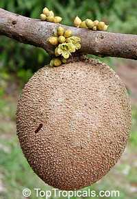 Pouteria sapota - Mamey Sapote Key West (Pantin), Large size, grafted