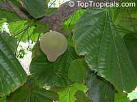 Quararibea cordata, Matisia cordata, Chupa-chupa, Zapote Chupachupa, South American Sapote  Click to see full-size image