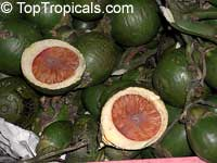 Areca catechu - Betel Nut