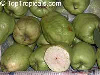 Psidium guajava - Cuban Guava (White fruit)