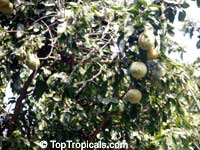 Aegle marmelos, Bael, Bengal Quince, Indian Bael, Wood Apple, Matoom  Click to see full-size image