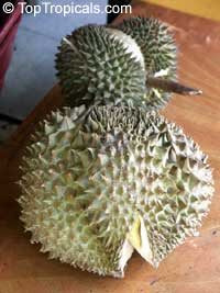 Durio zibethinus - Durian (with express shipping)  Click to see full-size image