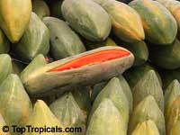 Carica papaya - Maradol - with Express Shipping  Click to see full-size image