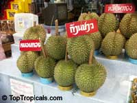 Durio sp., Durian, Durian Kuning, Durian Merah  Click to see full-size image