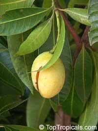 Bouea burmanica, Bouea macrophylla, Marian plum, Maprang, Ma-praang, Gandaria  Click to see full-size image