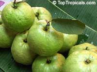 Psidium guajava - Guava Viet Nam  Click to see full-size image