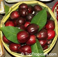 Syzygium malaccensis - Malay Apple var. Pumarosa  Click to see full-size image