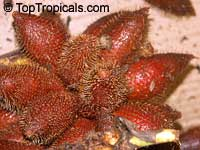 Salacca wallichiana, Zalacca rumphii, Salak Kumbar, Sala  Click to see full-size image