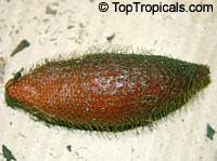 Salacca wallichiana, Zalacca rumphii, Salak Kumbar, SalaClick to see full-size image