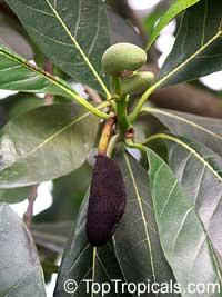 Artocarpus heterophyllus, Artocarpus integrifolius, Jackfruit, Jakfruit, Langka, Nangka, Jaca  Click to see full-size image